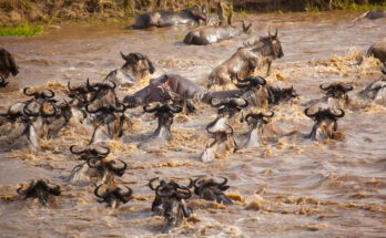 River-crossing-during-great-Wilderbeest-Migration-Masai-Mara-Kenya