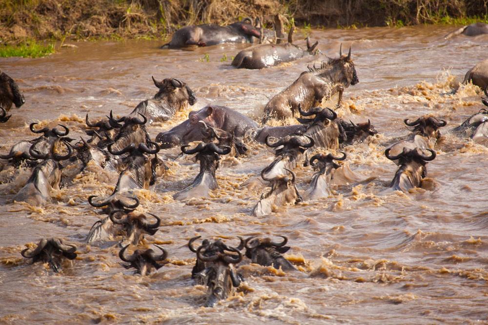 River-crossing-during-great-Wilderbeest-Migration-Masai-Mara-Kenya