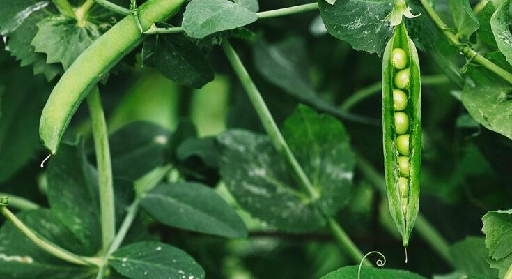 Vickram Sethi - Taste of Green Peas