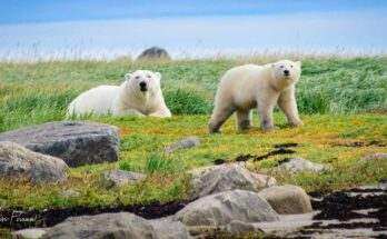 Polar Bear - Cover Image