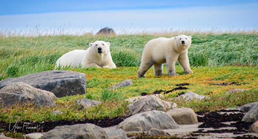 Polar Bear - Cover Image