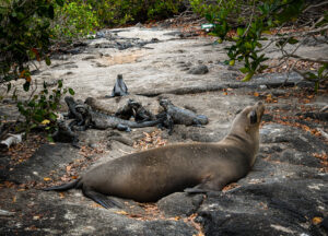 Marine iguanas and sealions dotting our path