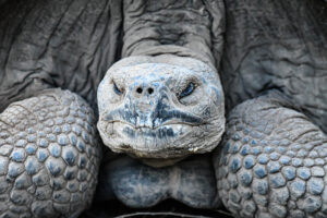 Close-up of the giant tortoise which has been around for more than 100 years