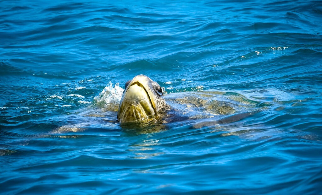 Pacific Sea Turtle