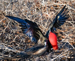 The frigate bird family