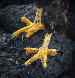 Strong talons of the Galapagos Hawk