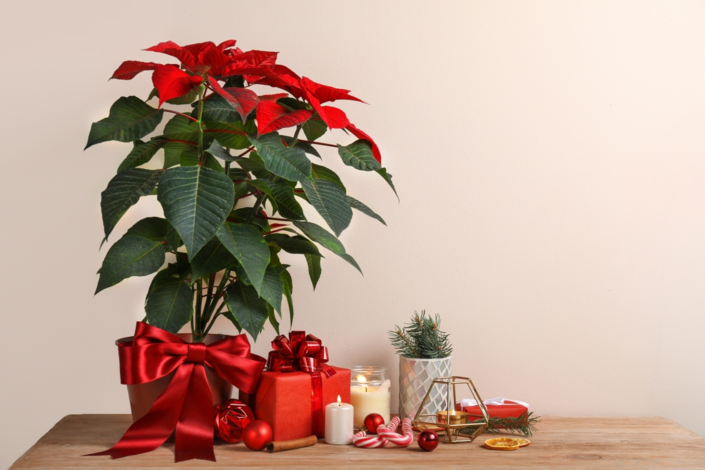 Give A Poinsettia Some Love - Seniors Today