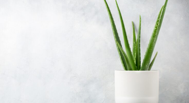 Have You Got an Aloe Vera Plant - Seniors Today cover