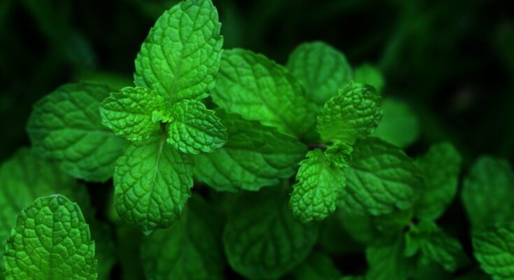 5 Useful Herbs You Can Grow and Use at Home – Part 4