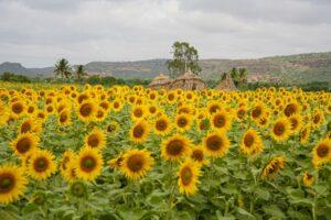 04_Sunflowers